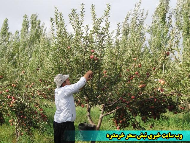 گزارش تصویری از برداشت سیب در خرمدره