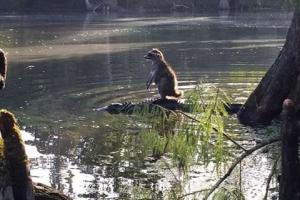 عکسی جالب از دوستی راکون و تمساح