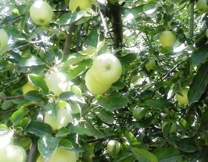 تصاویر/ برداشت سیب گلاب از باغات خرمدره