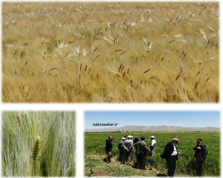 """بهره گیری از روش های نوین آبیاری در کشت محصولات زراعی /کشت ۲۰ هکتاری جو""""نانیوس"""" در خرم دره"""