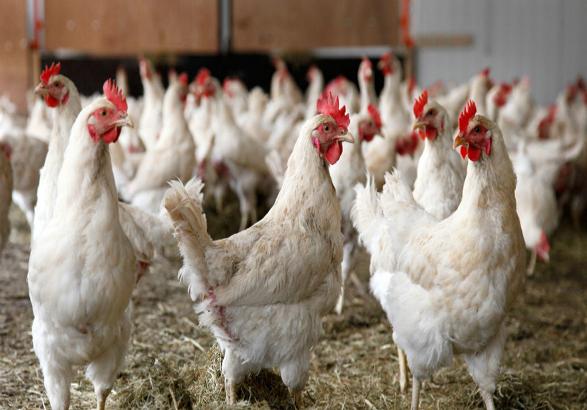 کشف بیش از ۳۰۰۰ قطعه مرغ زنده قاچاق در خرمدره